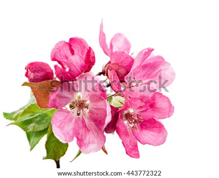 Macro of isolated pink blossoms of an apple tree - stock photo