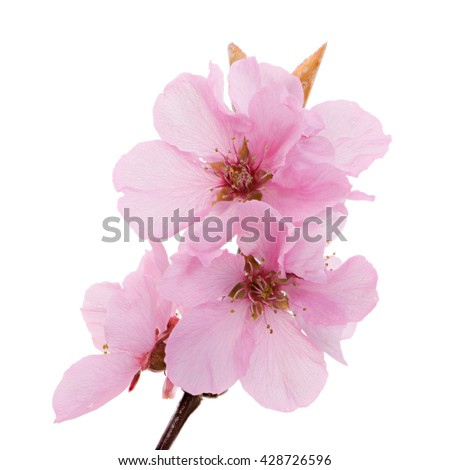 Macro of isolated pink peach blossoms - stock photo