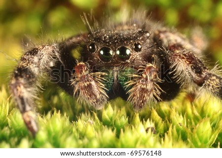Macro of Jumping spider on a bed of green moss