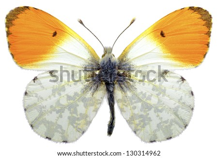 Macro of male orange tip butterfly (Anthocharis cardamines) isolated on white background - stock photo