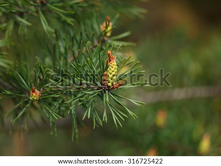 Macro of new green cone on pine twig at spring - stock photo