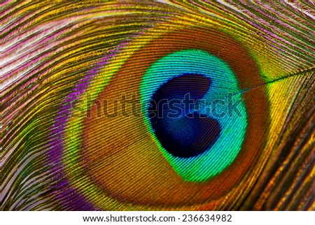 Macro of peacock feather isolated on white  - stock photo