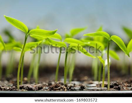 Macro of pepper seedlings ready for plant   - stock photo