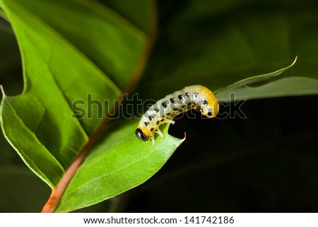 Macro of pest caterpillar on oak leaf isolated on black