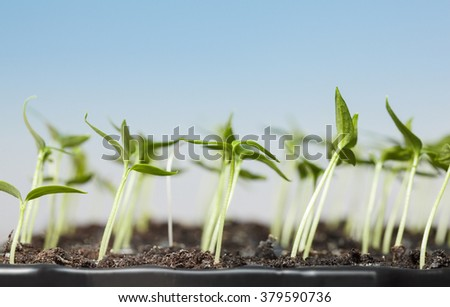 Macro of potted pepper plantlets over blue sky background