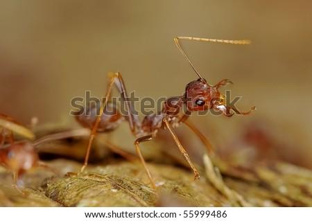 Macro of red ant - stock photo