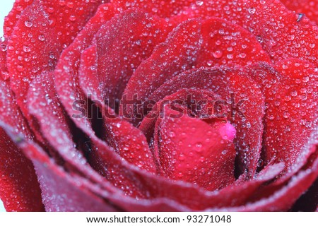 Macro of Red rose with water drop - stock photo
