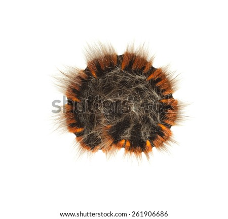 Macro of rolled up caterpillar isolated on white background - stock photo