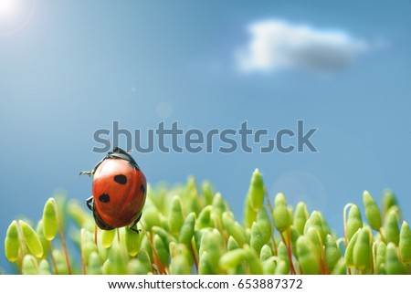 Macro of seven-spotted ladybird (Coccinella septempunctata) raising to sun from green sporophytes of Pohlia nutans moss over blue sky and clouds background, sun flare effect