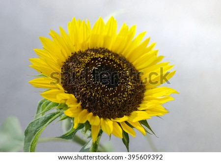macro of sunflower, selective focus on foreground - stock photo