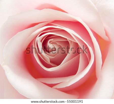 macro of the heart of beautiful pink rose - stock photo