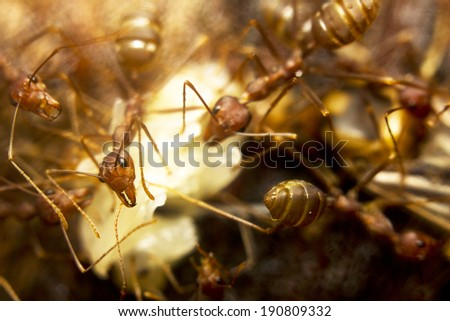 Macro of tropical red fire ants catching a prey - stock photo