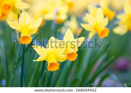 Macro of yellow wild daffodils in spring - stock photo