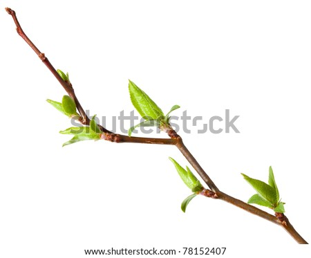 Macro of young foliage on cherry twig isolated on white - stock photo