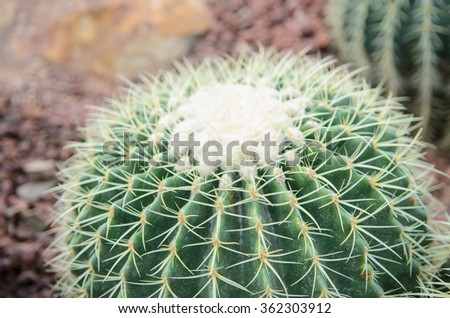 macro on cactus thorns - stock photo