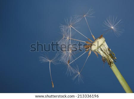 Macro one white fluffy dandelion on blue background - studio shot - stock photo
