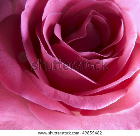 Macro photo of A beautiful red rose - stock photo