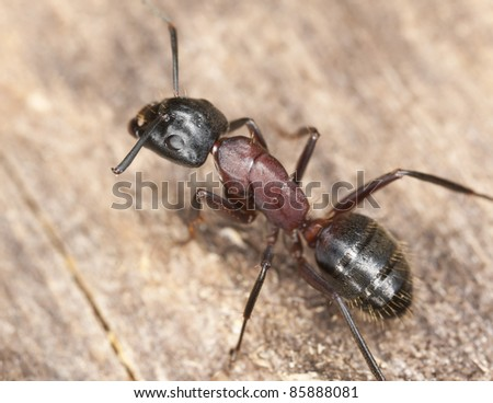 Macro photo of a Carpenter ant, this ant is a major pest on houses - stock photo
