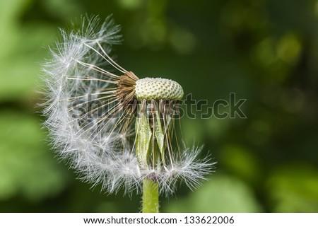Macro Photo Of A Dandelion - stock photo