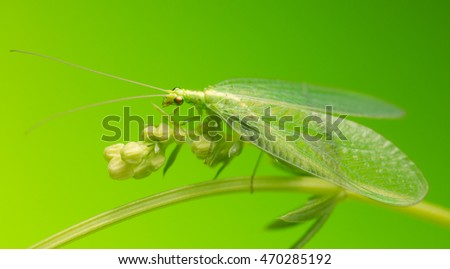 Macro photo of a green lacewing