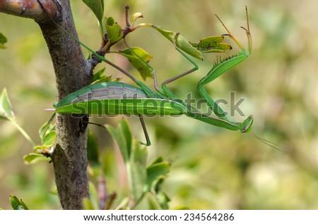 macro photo of a green praying mantis in Genoa - stock photo