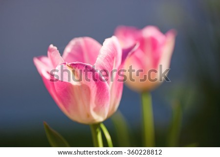 Macro photo of a tulip flower in a full bloom - stock photo