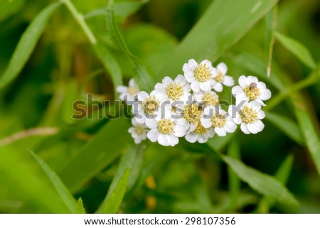 Macro photo of a white Yarrow (Achillea) flower with  little beetles eating pollen - stock photo