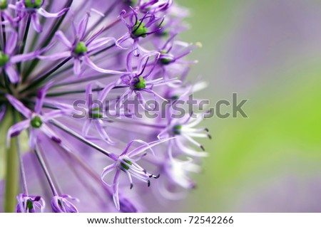 Macro photo of alium flowers - stock photo