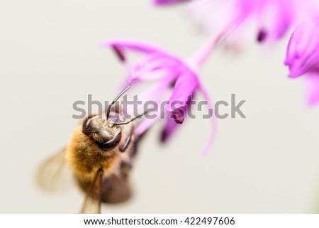 Macro Photo Of Bee Gathering Pollen From Purple Allium Flower - stock photo