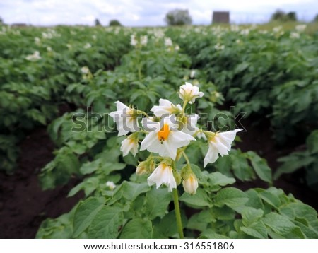 Macro photo of blooming potato flower on the background of big green potato-field. - stock photo