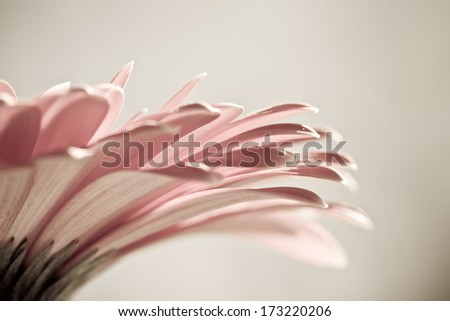 Macro photo of gerbera flower with water drop - stock photo