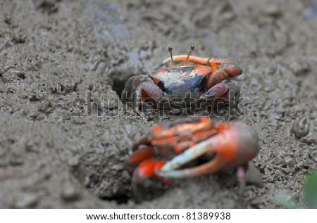 Macro photo of mud crab. Mai Po Marshland. Hong Kong. - stock photo