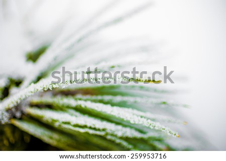 Macro photo of pine twig covered by hoarfrost - stock photo