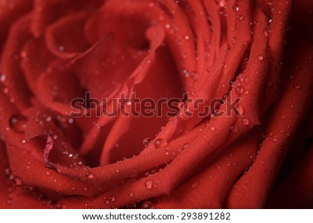 macro photo of red rose with water drops, shallow dof - stock photo
