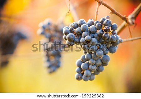 Macro photo of red wine grapes, low depth of focus - stock photo