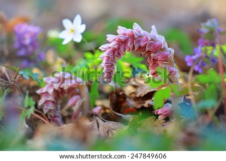 Macro photo of toothwort in spring forest - stock photo