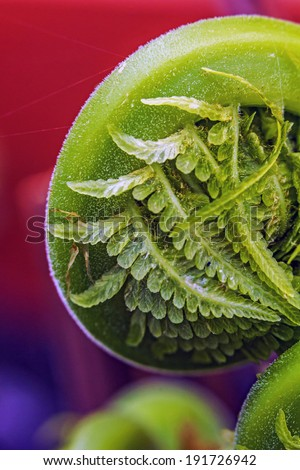 Macro photo of unfolding fern stalk - stock photo