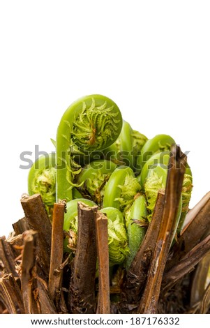 Macro photo of young fern stalks rising from the brown stem and unfolding isolated in white - stock photo
