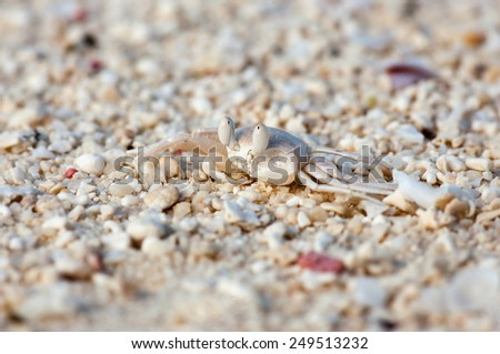 Macro photograph of a tropical white crab on the beach - stock photo