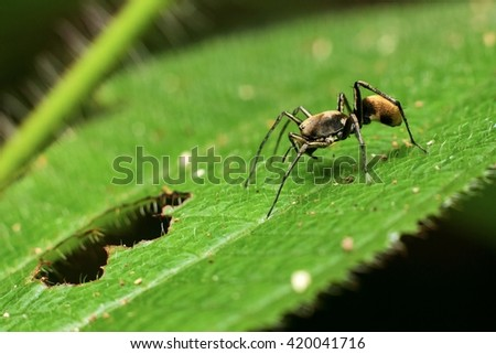 Macro Photography - A Black Ant Resting on top green leaf