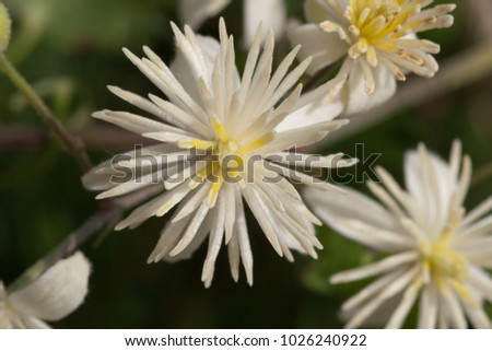 Macro photography of a wild flower (Clematis vitalba)