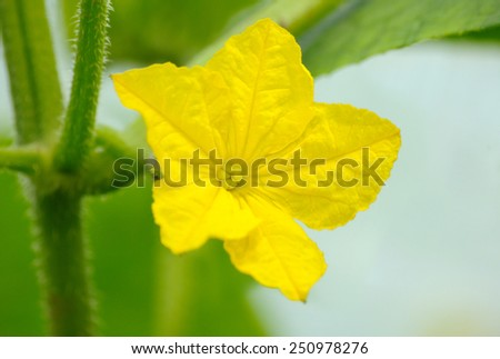 Macro photography of cucumber's flower on the bush - stock photo