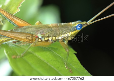Macro photography of grasshopper in rain forest of Thailand. Image shallow depth of field and selective focus at the eye.