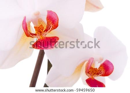 Macro photography of phalaenopsis flower. - stock photo