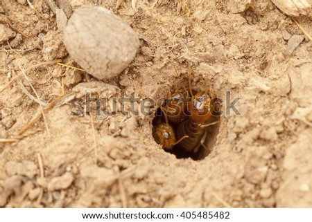 Macro photography of small hole with the termites on the ground in Morocco, several workers waiting in the entrance to the nest - stock photo