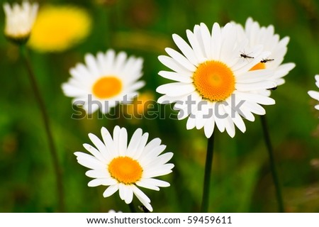 Macro photography of wild daisies blooming on a meadow. - stock photo