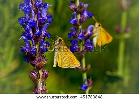Macro photography. Two yellow butterfly on blue flowers . One in the field , the other - a reflection of the first