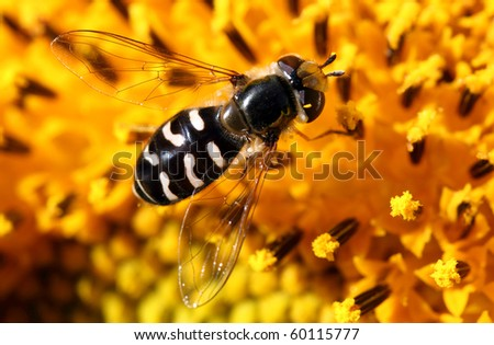 macro picture of a fly on a sunflower - stock photo
