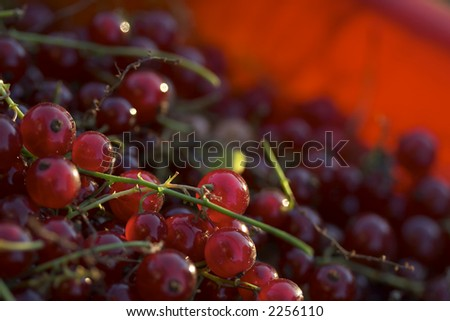 macro picture of ripe red currants with stem