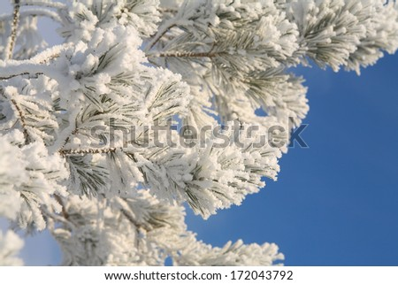 macro pine branch in thick fluffy frost on the background of sky sunny frosty day